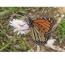 Wanderer Butterfly (Danaus plexippus) - Horsnell Gully, South Australia Photographic Print