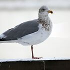 Cold Seagull by imagic