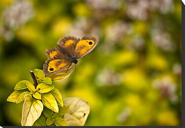 Gatekeeper Butterfly #2 by Trevor Kersley