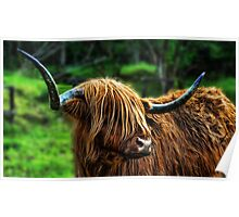 Highland Coo. Poster