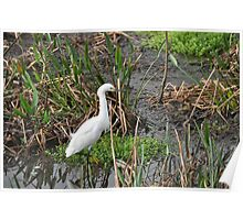 Snowy Egret ... Poster