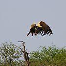Tawny Eagle by Riaan van der Merwe
