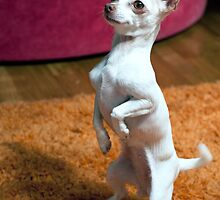 Mini White Chihuahua Performing by Swede