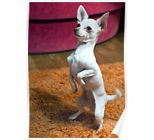 Mini White Chihuahua Performing Poster