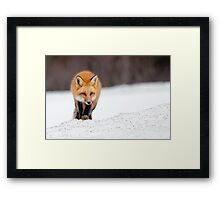 Red Fox, Algonquin Park, Canada. Framed Print