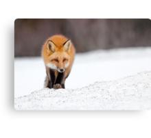 Red Fox, Algonquin Park, Canada. Metal Print