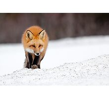 Red Fox, Algonquin Park, Canada. Photographic Print