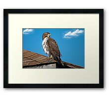 Red Tailed Hawk Framed Print