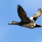 American Wigeon Drake in Flight by Chuck Gardner
