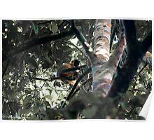hoolock gibbon Poster
