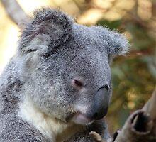 Koala by ConnieKerr