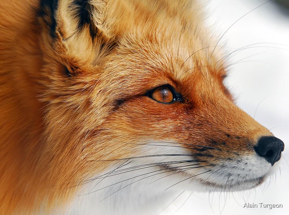 Red Fox by Alain Turgeon