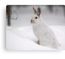 Varying Hare Canvas Print