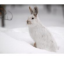 Varying Hare Photographic Print
