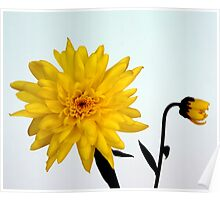 Yellow Chrysanthemum and friend  Poster