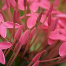Pink by Kornrawiee