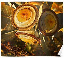 """Eucalyptus Macrocarpa Gum Nuts"" Poster"