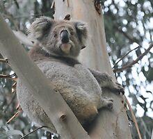 Koala in tree at Heathmere by Michael Barnett