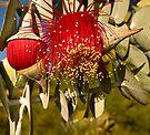 """Red Flowering Eucalyptus Macrocarpa"" by Heather Thorning"