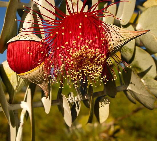 """Red Flowering Eucalyptus Macrocarpa"" by Heather Thorning"