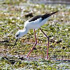 Pied or Black Winged Stilt by bidkev1