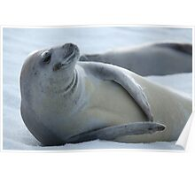 Cool Crabeater Seal Poster