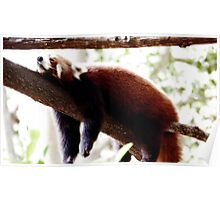 Red Panda sleeping in the tree Poster