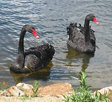 Elegance of Black Swans (363 views 3.5.13) by GemmaWiseman