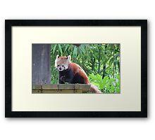 Red panda munchies Framed Print