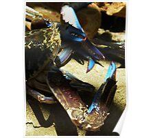 Blue manna crabs Poster