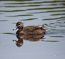 Pacific Black Duck by inthewild