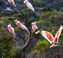 Major Mitchell Cockatoos at Nuyts NP by JSumpton