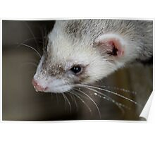 Ferret with droplets Poster
