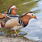 Male Mandarin Ducks at Martin Mere Wetland Centre by Ann Miller