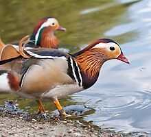 Male Mandarin Ducks at Martin Mere Wetland Centre by Ann Miller