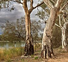 Murray River Gums by Hans Kawitzki