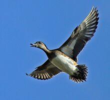 American Wigeon Hen in Flight by Chuck Gardner