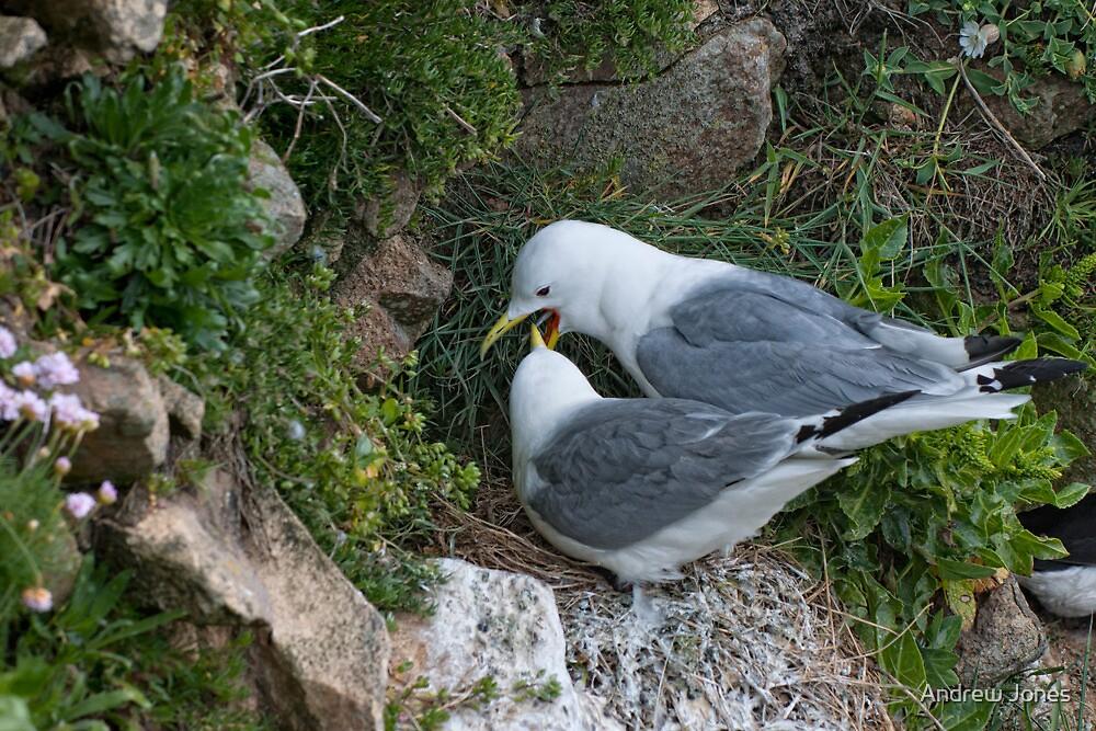 kittiwake courtship, Saltee Island, County Wexford, Ireland by Andrew Jones