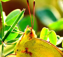 Yellow Sulphur Butterfly Portrait by Ron Russell