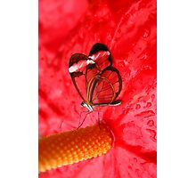 Glasswing on Anthurium Photographic Print