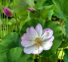 Pink Water Lilies by Monica M. Scanlan
