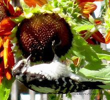 Woodpecker Eating Sunflower Seeds in Mo's Garden 2 by Maureen Zaharie