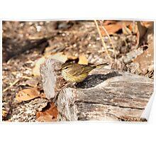 Prairie Warbler Poster