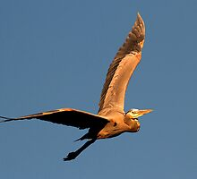 121210 Great Blue Heron by Marvin Collins