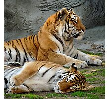 Cute Tigers Photographic Print
