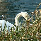 shy swan eating behind  by LisaBeth