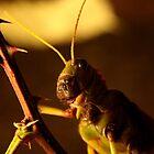 Locust by James Hennman