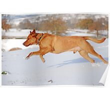 Fox Red Labrador In Action Poster