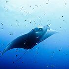Manta Ray, Lady Musgrave Island Great Barrier Reef /  Emma M Birdsey by Emma M Birdsey