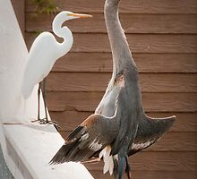 """Flasher"" - a great blue heron seems to be exposing itself by John Hartung"